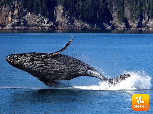 Le balene possono salvare il pianeta