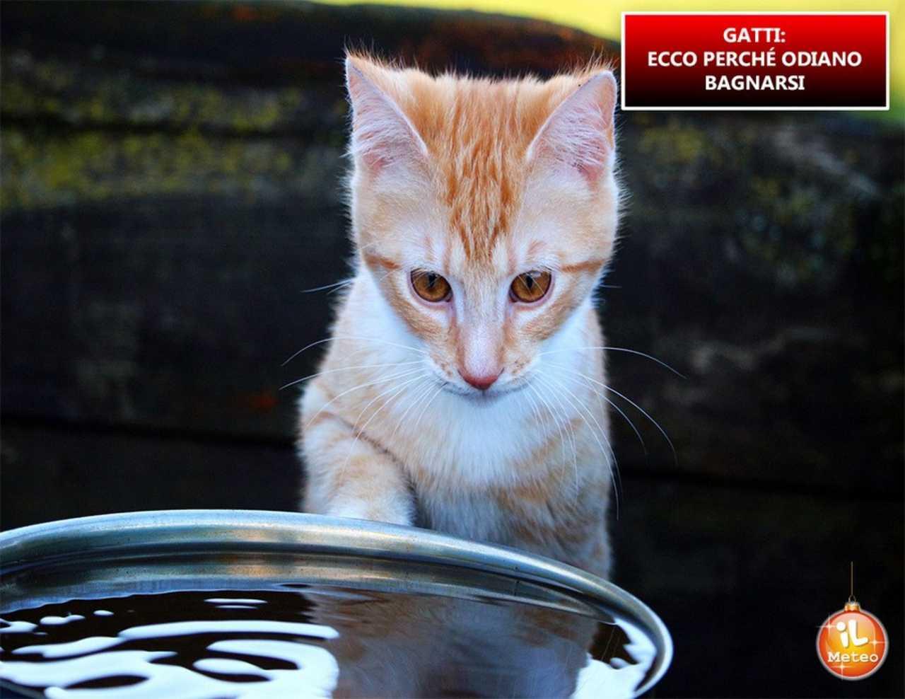 Gatti Ecco Perchè Odiano Bagnarsi Video Ilmeteoit