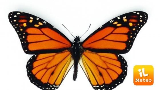 Farfalle a rischio