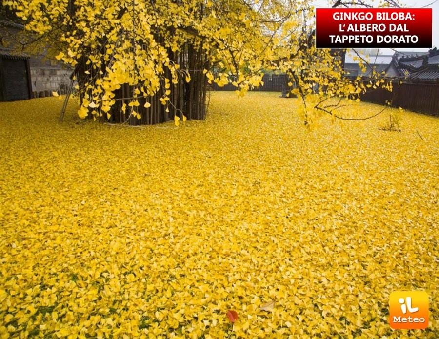 GINKO BILOBA: l'albero dal tappeto dorato