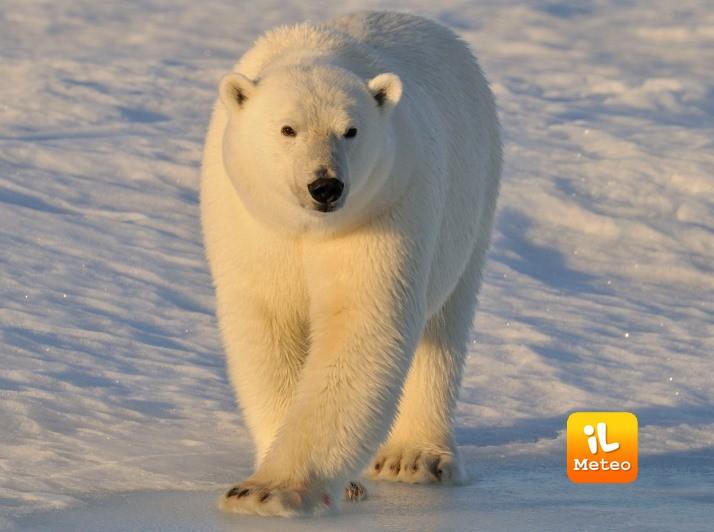 I cambiamenti climatici minacciano l'habitat dell'orso polare