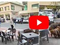 ROMA: la Famiglia di CINGHIALI fa Colazione al Bar. Il VIDEO è subito Virale