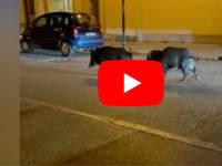 TORINO: Due Grossi Cinghiali Girano INDISTURBATI in Pieno Centro. Il VIDEO