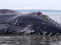 CILE: trovate 337 balene morte in Patagonia!