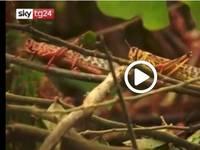 Cronaca DIRETTA VIDEO: le LOCUSTE minacciano i Paesi dell'Africa Orientale
