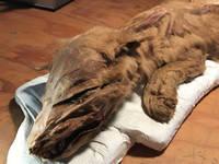 Ritrovato cucciolo di LUPO intatto dopo 56mila anni