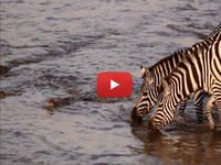 CRONACA DIRETTA VIDEO: il COCCODRILLO cattura la ZEBRA nel fiume, ma il FINALE è un COLPO di SCENA. Le IMMAGINI