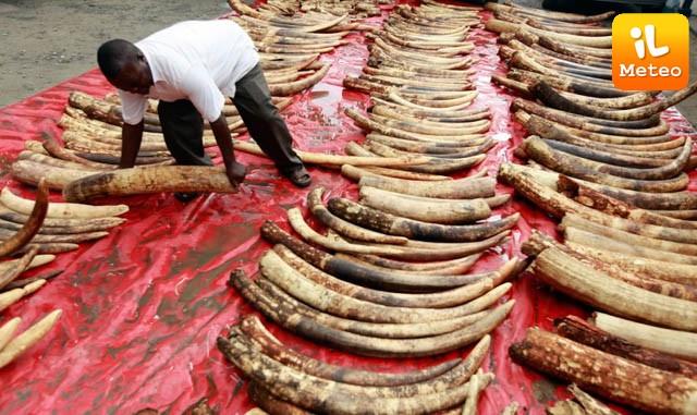Kenya, in fumo 105 tonnellate di avorio